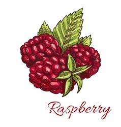 Raspberry fruits with green leaves sketch vector image vector image
