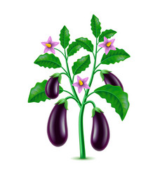 Growing eggplant isolated on white vector