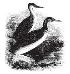 Red throated diver vintage vector