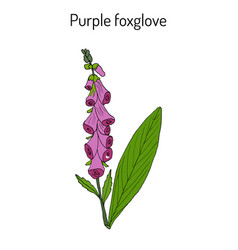 Foxglove digitalis purpurea medicinal and vector