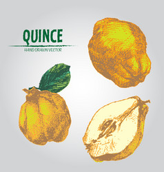 Digital detailed color quince hand drawn vector