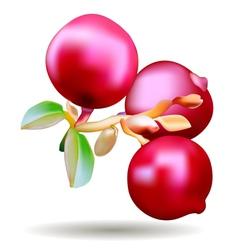 Berrys vector image
