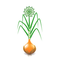 Growing onion plant isolated on white vector