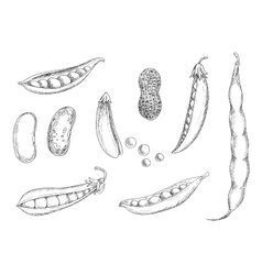 Sketches of peanut pea pods and beans vector