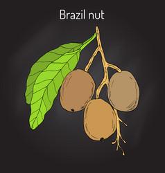 Brazil nut bertholletia excelsa vector