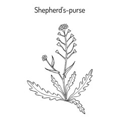 shepherd s purse capsella bursa-pastoris vector image