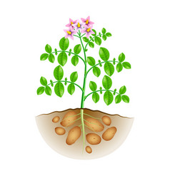 Growing potatoes plant isolated on white vector