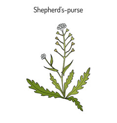 shepherd s purse capsella bursa-pastoris vector image vector image