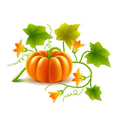 growing pumpkin plant isolated on white vector image vector image