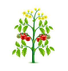 Growing tomato plant isolated on white vector