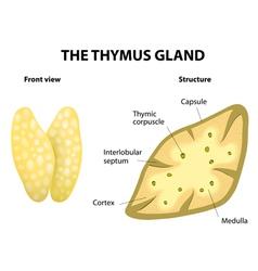 Thymus vector