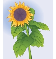 Blossoming flower sunflower vector