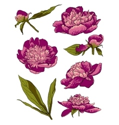 Peony flowers llustration set vector