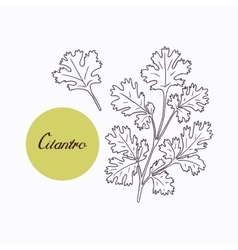 Hand drawn cilantro branch with leves isolated on vector image