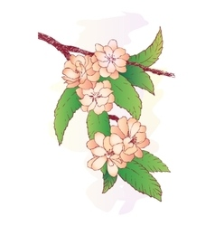 Branch with oriental cherry flowers isolated vector