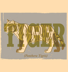 Hand drawing style of vintage tiger poster vector