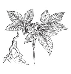 Ginseng branch and root vintage vector