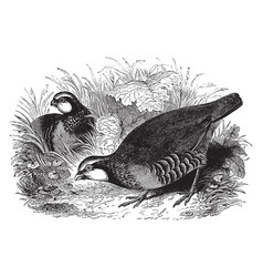 Red legged partridge vintage vector