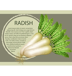 Fresh radish with text design vector image