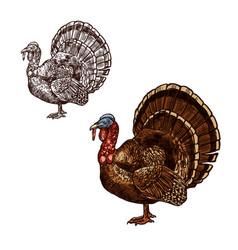 turkey bird thanksgiving day sketch icon vector image