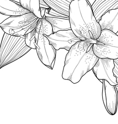 black and white lilies on a white background vector image