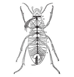 Nervous system of carabus auratus vintage vector
