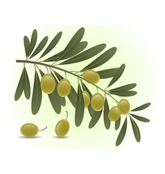 Green olives branch vector