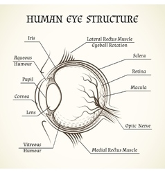 Structure of the human eye vector