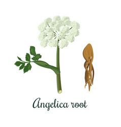 Angelica sinensis archangelica or dong quai or vector