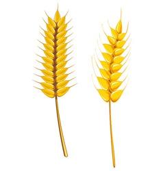 Wheat and barley vector