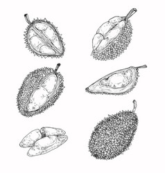 Set of  icons of a durian vector