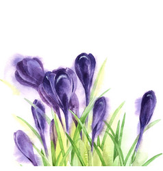 Hand drawn watercolor crocuses vector