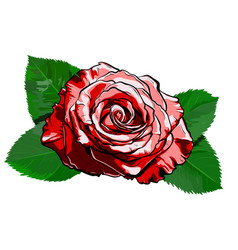 Beautiful red rose hand-drawn vector