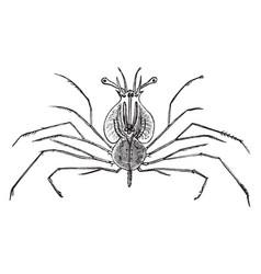 Glass crab lobster larva vintage vector