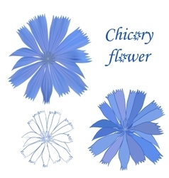 Set of chicory flower isolated on white background vector