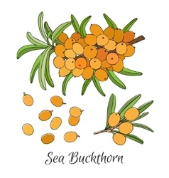 Branch of sea buckthorn berries vector