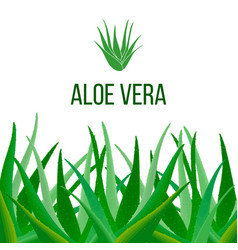 Aloe vera poster with text herbal medicine vector