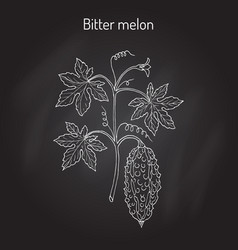 bitter melon or balsam-pear momordica charantia vector image