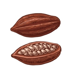 Fruits of cocoa beans vector