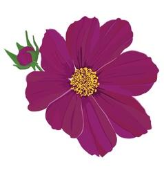 Two bud and flower kosmeya vector