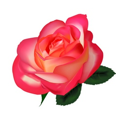 beautiful tea rose vector image