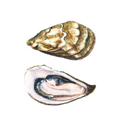 two halfs of watercolor oyster vector image
