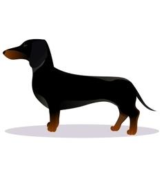 Black dachshund vector image