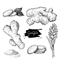 Ginger set root ginger pieces and flower vector