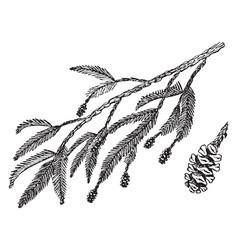 Redwood branch vintage vector