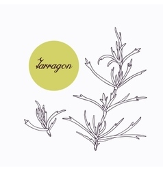 Hand drawn tarragon branch with leves isolated on vector