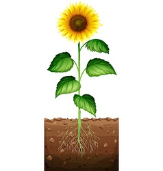 Sunflower with roots underground vector