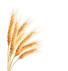 Spikelets and grains of wheat EPS 10 vector image