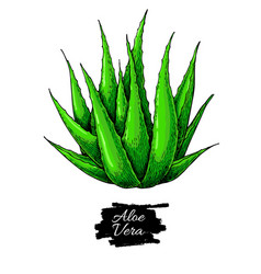 Aloe vera hand drawn artistic vector