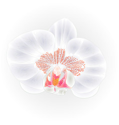 beautiful orchid white flower phalaenopsis vector image vector image